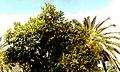 نخل نارنجی - panoramio.jpg