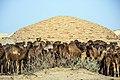 چرای گله شتر - حوالی کاروانسرای دیر گچین قم - پارک ملی کویر 22.jpg