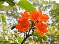 คอร์เดีย (Geranium tree ) Cordia debestina L. 11.jpg