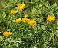 キンバイソウ Trollius hondoensis (flowers).JPG