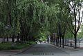 东北师大校园柳树 campus willows vista - panoramio (1).jpg