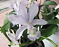 卡特蘭屬 Cattleya x dolosa -香港青松觀蘭花展 Tuen Mun, Hong Kong- (9200878964).jpg