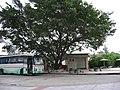 大榕树 - panoramio.jpg