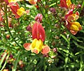 摩洛哥柳穿魚 Linaria maroccana -上海國際花展 Shanghai International Flower Show- (17327689416).jpg