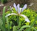 新疆鳶尾 Iris sogdiana -比利時 Ghent University Botanical Garden, Belgium- (9198128653).jpg