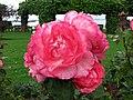 玫瑰 Pink Panther -紐西蘭 Tauranga Robbins Park, New Zealand- (45861999164).jpg