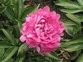 芍藥-粉菊 Paeonia lactiflora 'Pink Chrysanthemum' -北京景山公園 Jingshan Park, Beijing- (12380296383).jpg