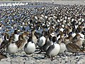 荒川のカモの群れ - panoramio.jpg