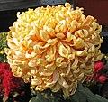 菊花-泥金豹 Chrysanthemum morifolium 'Gold Dust Leopard' -中山小欖菊花會 Xiaolan Chrysanthemum Show, China- (11994935764).jpg