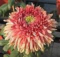 菊花-綠衣紅裳 Chrysanthemum morifolium 'Green Coat Red Skirt' -中山小欖菊花會 Xiaolan Chrysanthemum Show, China- (12064622635).jpg