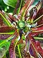 萵苣-紅菜心 Lactuca sativa 20201127142610 04.jpg