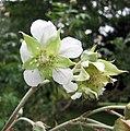 西北沼委陵菜 Comarum salesovianum (Farinopsis salesoviana) -哥本哈根大學植物園 Copenhagen University Botanical Garden- (36121245214).jpg