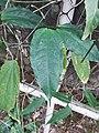 跳舞女郎 Thunbergia mysorensis 20200307185911 11.jpg