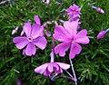 針葉天藍繡球 Phlox subulata 'McDaniel's Cushion' -挪威 Ulvik, Norway- (35866312741).jpg