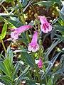 釣鐘柳 Penstemon 'Hidcote Pink' -英格蘭 Brockhole, England- (14802835909).jpg