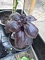 -2019-07-20 Purple basil, (Ocimum basilicum), Trimingham.JPG