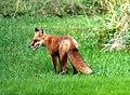 001 Red Fox (8057819248).jpg