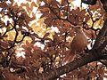 01 sabiá-laranjeira (Turdus rufiventris).jpg
