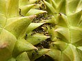 07302jfBlack ants eating Durians in the Philippinesfvf 24.jpg