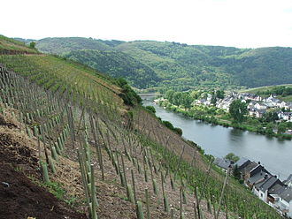 Riesling - Riesling vines on a steep, south facing slope in the Mosel region.