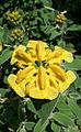 0 Phlomis fruticosa - Samoëns (1).JPG