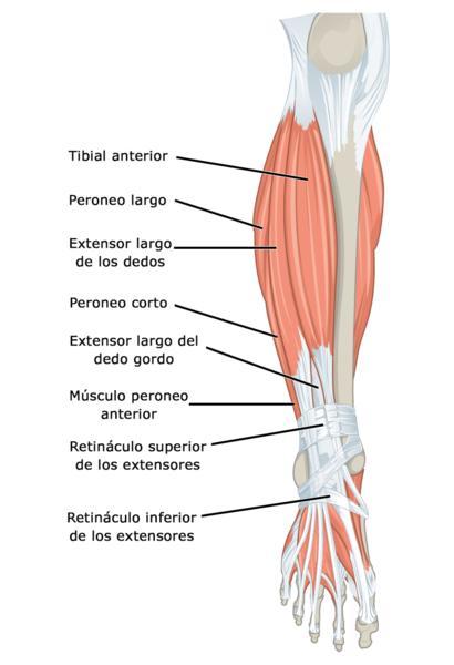 Archivo:1123 Muscles of the Leg that Move the Foot and Toes a esp ...