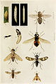 14-Indian-Insect-Life - Harold Maxwell-Lefroy - Tabanidae.jpg