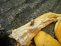 1400Common houseflies eating Bananas 09.jpg