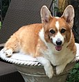 14 year old Corgi.jpg
