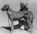 1800s-rampur-hound 1903 01.jpg
