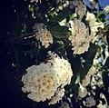 1White flowers.jpg