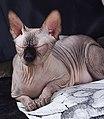 1 adult cat Sphynx. img 028.jpg