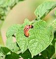 2006-07-16 larve1.jpg