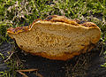 2006-08-20 Gloeophyllum odoratum.jpg