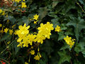 2006-12-01Jasminum nudiflorum12.jpg