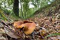 2010-09-19 Lactarius fulvissimus Romagn 107095.jpg