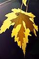 2010-365-303 Maple Outlined (5130556881).jpg