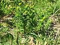 20120723Matricaria discoidea2.jpg