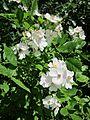 20130617Rosa multiflora Schwetzinger Hardt1.jpg