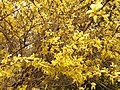 2014-04-21 12 43 17 Forsythia in bloom in Elko, Nevada.JPG