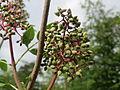20140513Sambucus racemosa1.jpg