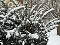 2016-02-15 09 35 30 Yew branches covered in snow along Elderberry Place in the Franklin Glen section of Chantilly, Fairfax County, Virginia.jpg