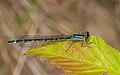 2016.07.10.-01-Westensee--Gemeine Becherjungfer-Weibchen-blaue Form.jpg