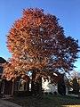 2017-11-10 15 17 39 Pin Oak during late autumn along Kinross Circle near Hughsmith Way in the Chantilly Highlands section of Oak Hill, Fairfax County, Virginia.jpg