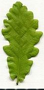 2020 year. Herbarium. Oak. img-017.jpg