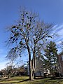 2021-01-16 11 36 00 A large Red Maple with multiple instances of Mistletoe along Elderberry Place in the Franklin Glen section of Chantilly, Fairfax County, Virginia.jpg