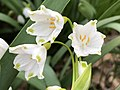 2021-04-05 18 53 57 Summer Snowflake flowers along a stream in a wooded area within the Franklin Glen section of Chantilly, Fairfax County, Virginia.jpg