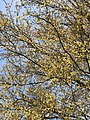 2021-04-15 09 58 35 View up into the canopy of a Water Oak blooming and leafing out in spring along White Barn Lane in the Franklin Farm section of Oak Hill, Fairfax County, Virginia.jpg