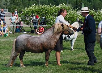 Shetland pony - A Shetland pony shown in Finland, 2010