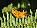 296紅擬豹斑蝶7(李淑惠攝) (18856883770).jpg